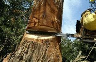 cutting tree2