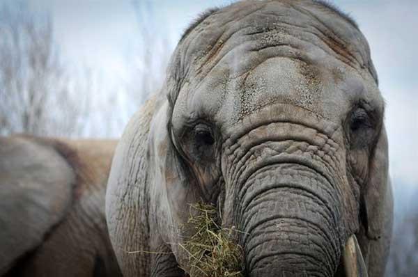 Toka، فیل ۴۱ ساله به زودی از تورنتو به کالیفرنیا مهاجرت خواهد کرد.