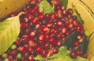منقرض شدن گیاه Arabica می تواند باعث کمیاب شدن قهوه بشود.
