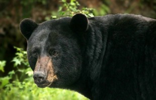 big-black-bear