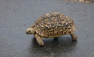 خانمی در پیتربوروی انتاریو با مشاهده لاک پشتی در جاده   توقف کرد تا  به لاک پشت کمک کند