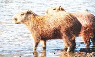 «کپي بارا» نوعي جانور جوند ه است که هيکلش به سگ آبي شبيه است و حرکاتش به موشها و خرگوشهاي جوند ه