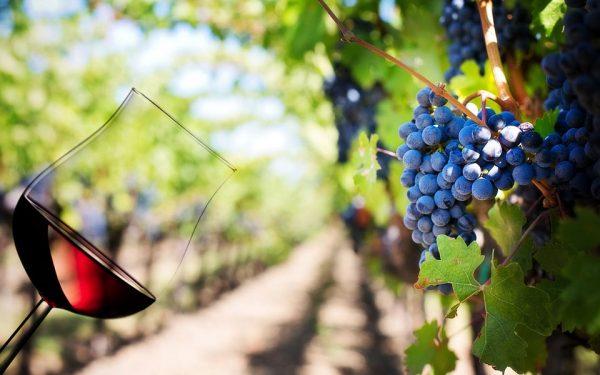 مرغوب ترین انگور و به دنبال آن شراب از این شهر به دست می آید.