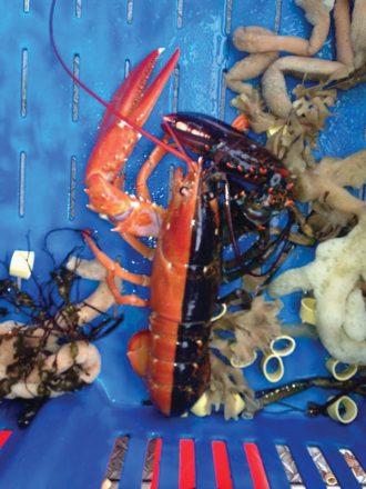 crab5