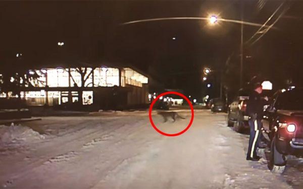 دوربین داشبورد اتومبیل این افسر پلیس، صحنه رد شدن شیر کوهی از خیابان را به صورت زنده فیلمبرداری کرده است.