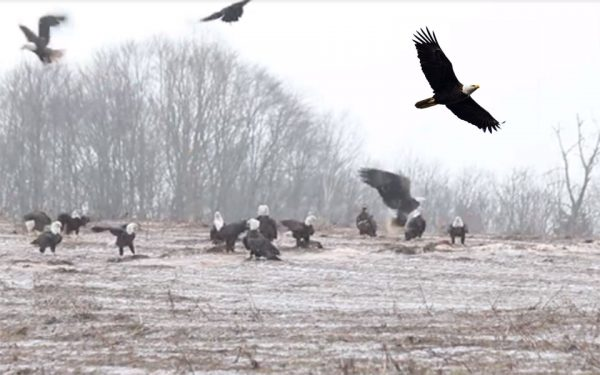 شفیلد میلز به عنوان بزرگترین اجتماع عقابها در آمریکای شمالی یاد می شود.