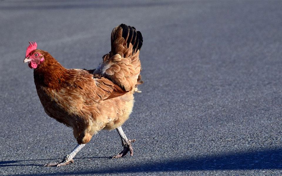 حداکثر تا چهار مرغ در هر خانه.