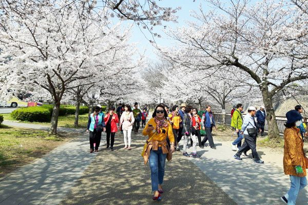 دیدار از شکوفه های گیلاس در شهر اوزاکا