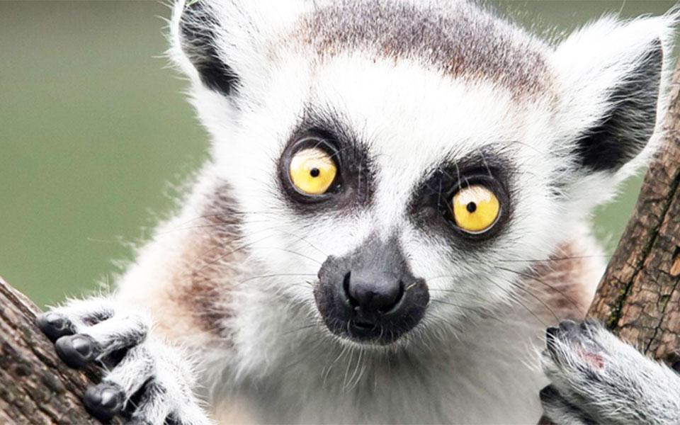 میمون ماداگاسکار