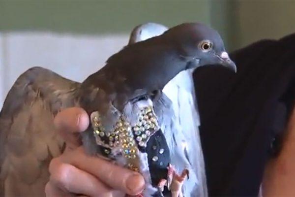 کبوتر گمشده با جلیقه سنگ دوزی شده