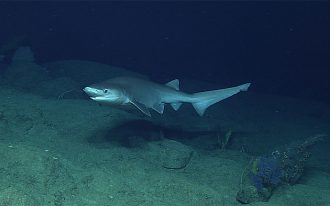 The bluntnose sixgill is often found near the ocean floor.