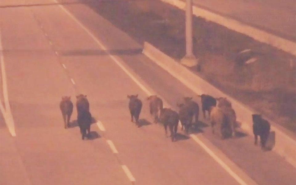 گاوهای سرگردان در اتوبان